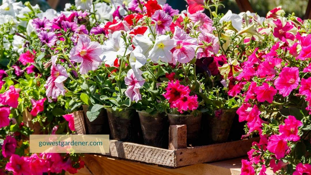 If you buy flowers like petunias too early, you may need to protect them from frosts.