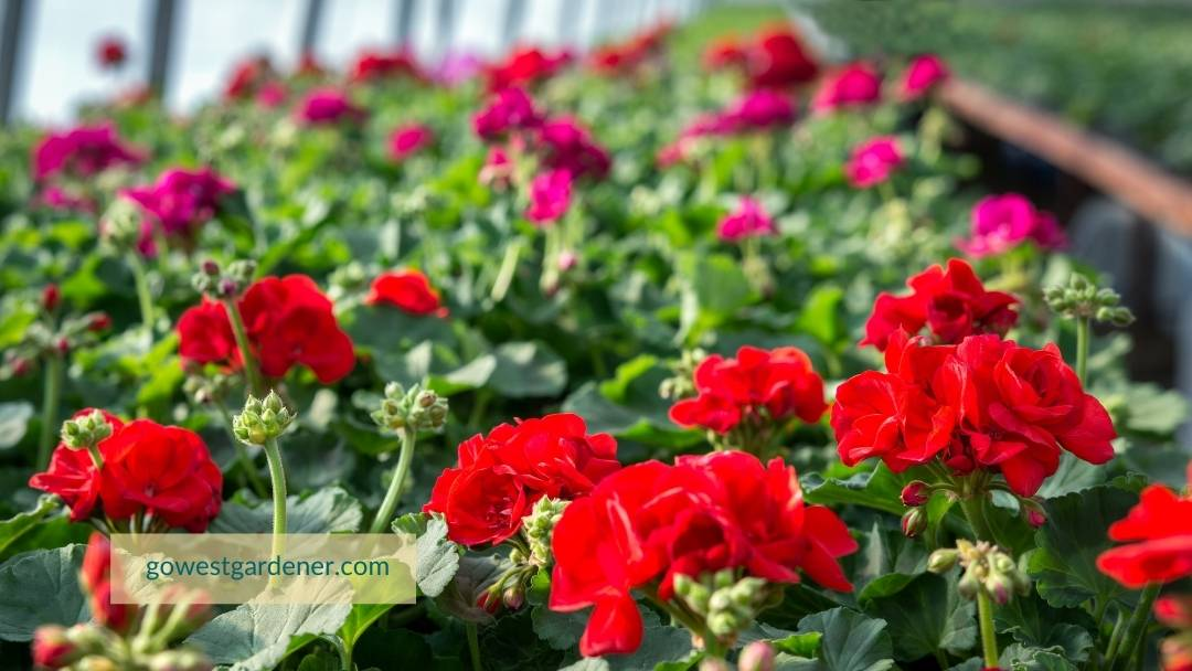 Should you plant flowers like geraniums when you see them at the store? It depends.