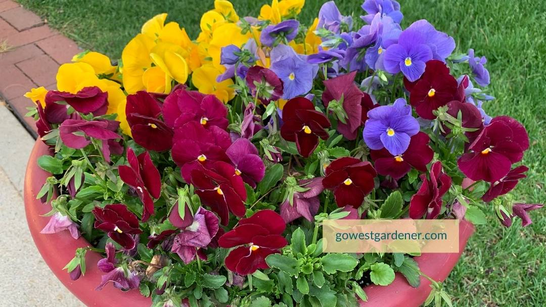 Colorful pansies are overflowing from a flowerpot in the spring.
