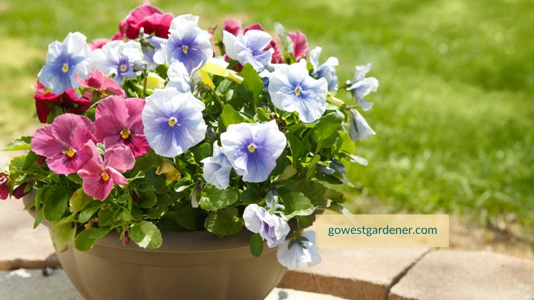 Pansies are an early spring flower that you can plant in flower pots in March in western states like Colorado.