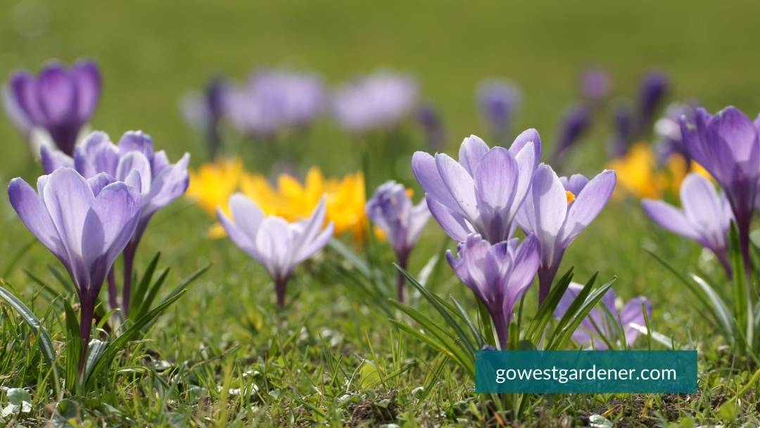 Crocuses are early spring bloomers that tend to be very hardy in the snow.