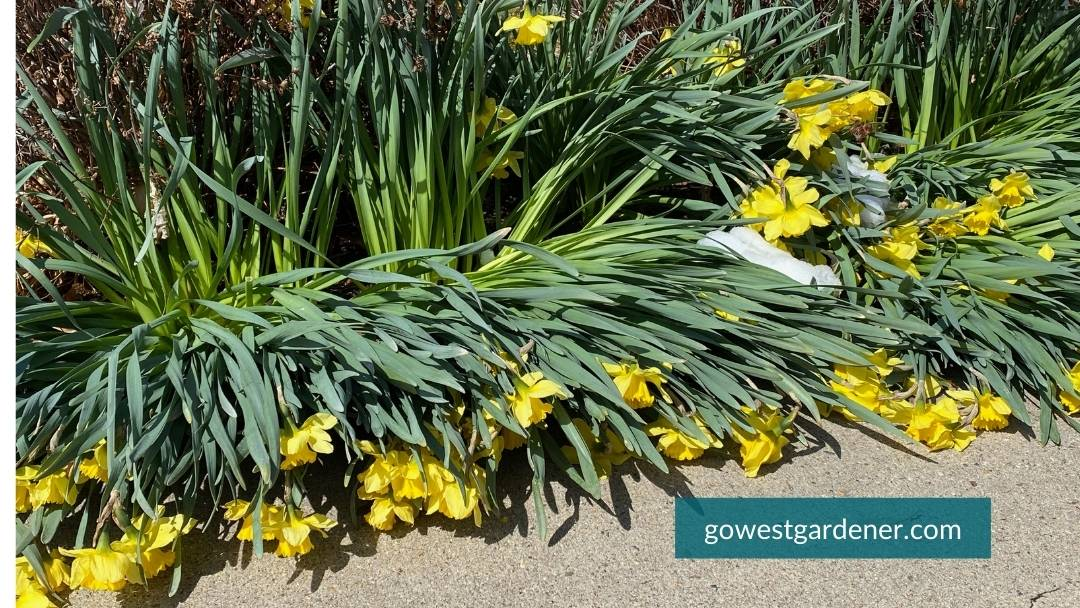 Will snow kill your daffodils? Not likely, but it can weigh them down and crush them.