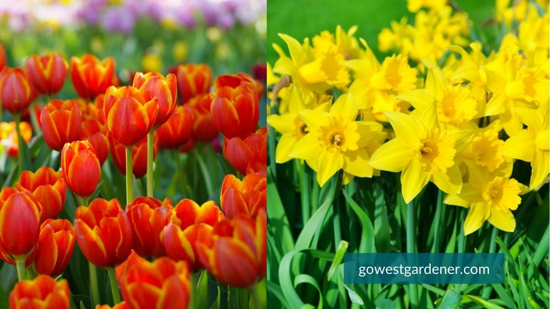 Tulips and daffodils, spring flowers