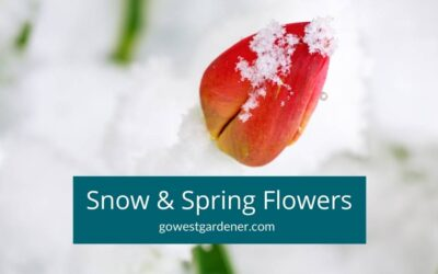 """""""Will Snow Kill My Spring Flowers Like Tulips? Should I Protect Them?"""""""