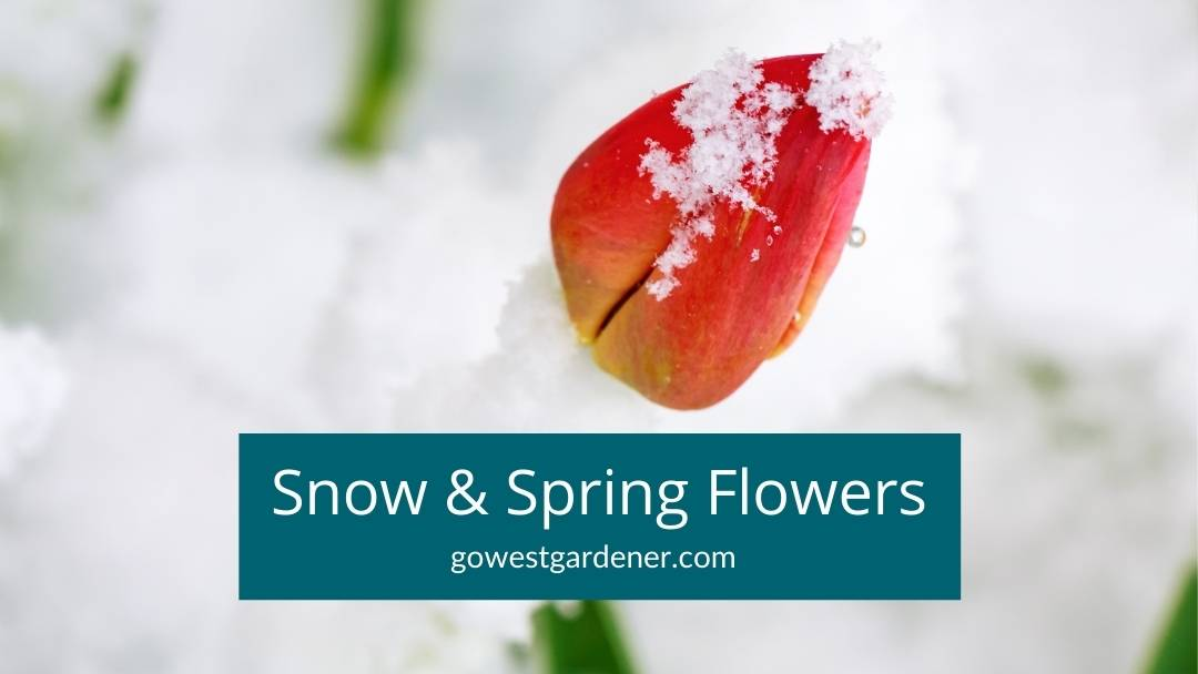 Will snow kill tulips? Here are tips on what to do with spring flowers when snow is in the forecast