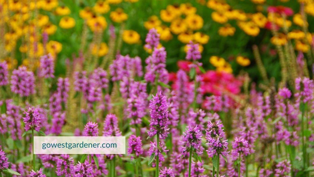 Agastache is a drought-tolerant flower