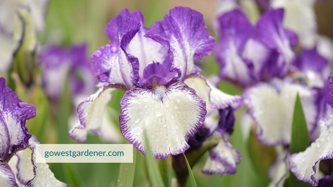 Bearded irises are drought tolerant, making them great for a waterwise garden.