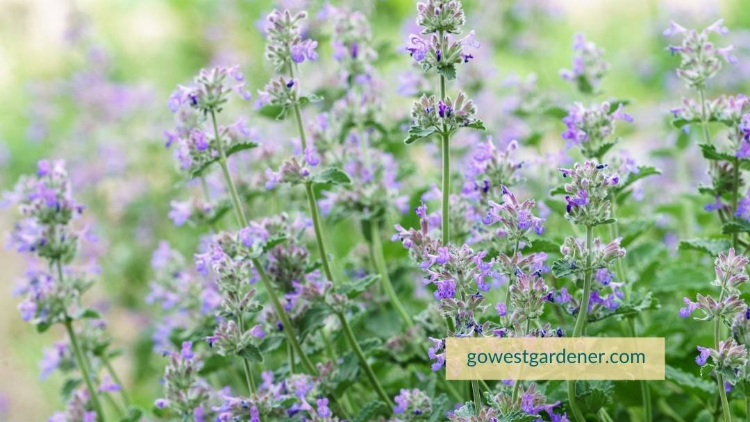 Catmint is an example of a flower you can cut back after hail, and it may return.