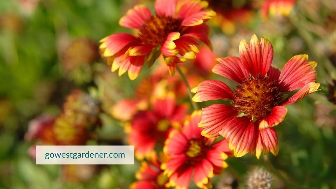 Gaillardia (Blanket Flower) is an example of a waterwise flower.