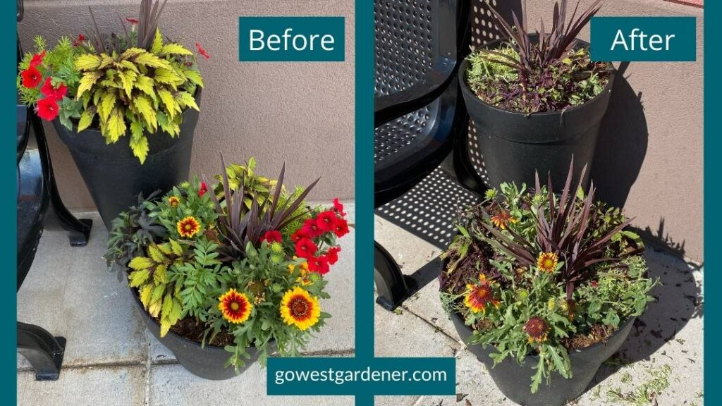 Before and after of hail damage to beautiful flowerpots of annuals