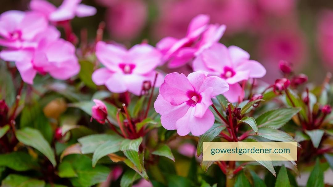 New Guinea Impatiens are annuals that are vulnerable to hail damage