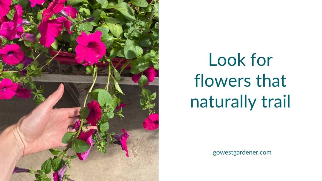 When looking for spiller flowers for flowerpots, look for flowers that naturally trail from their containers