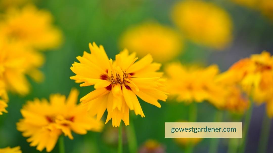 Coreopsis (commonly known as Tickseed) is an example of a hail resistant flower plant.
