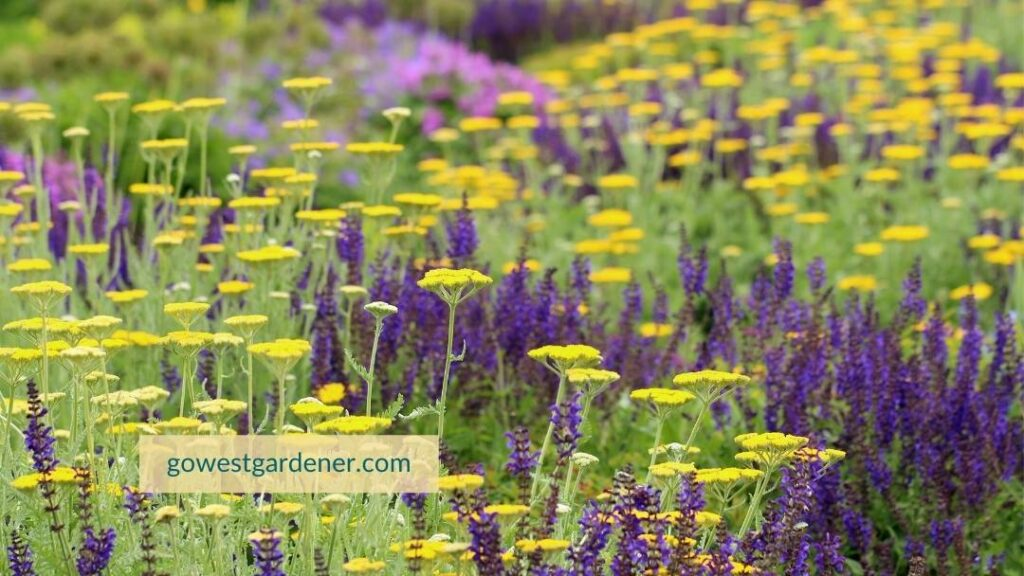 Drought-tolerant flower garden featuring May Night Salvia and yellow Yarrow.