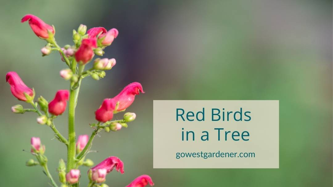Red Birds in a Tree is a xeric flower that's good for drought-tolerant western gardens.i