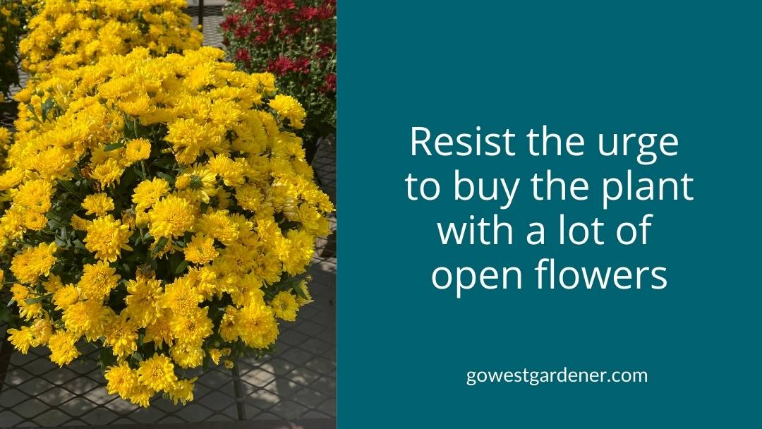 Avoid buying flowers if the plant has a lot of open blooms but no buds.