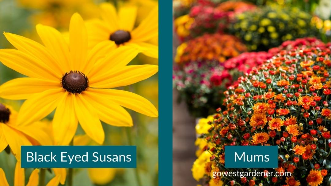 In the fall, add in Black Eyed Susans or mums to change the flowers in your pots.