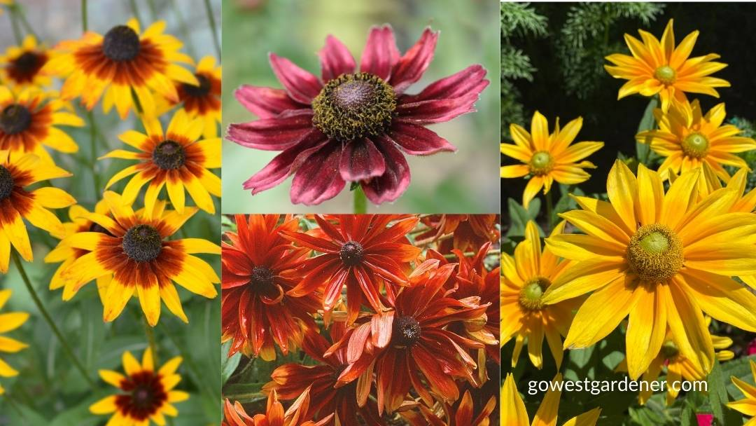 There are many pretty colors of Gloriosa Daisy flowers to add to your flowerpots.