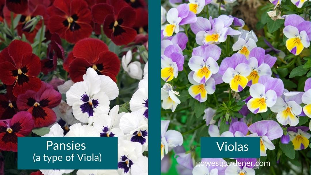 Change up your flowerpot look with pansies and violas in the fall. They like cooler weather.