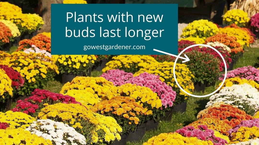 Plants with new buds last longer in their color.