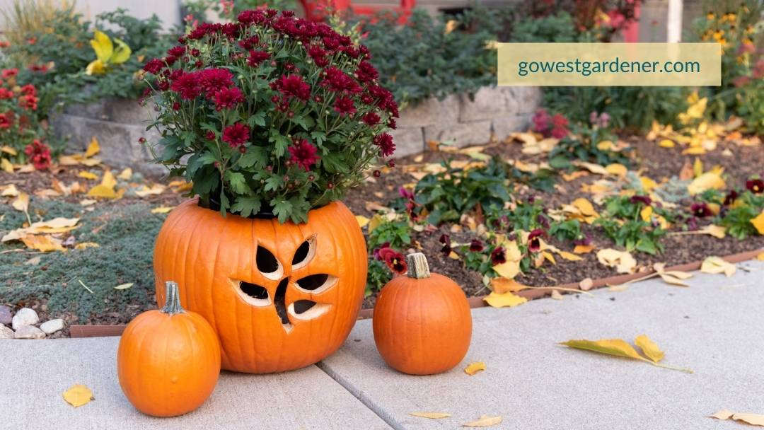The finished product of my Jack o' Planter! This is how my pumpkin planter with red mums turned out.