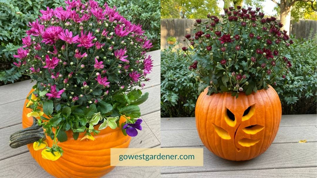 Here are two examples of pretty pumpkin planters with mums and pansies.