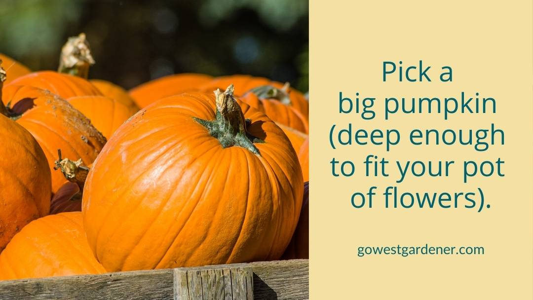 Look for a big pumpkin to serve as your pumpkin flowerpot.