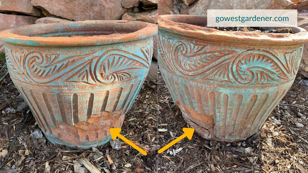 Example of winter freeze damage on outdoor pots.
