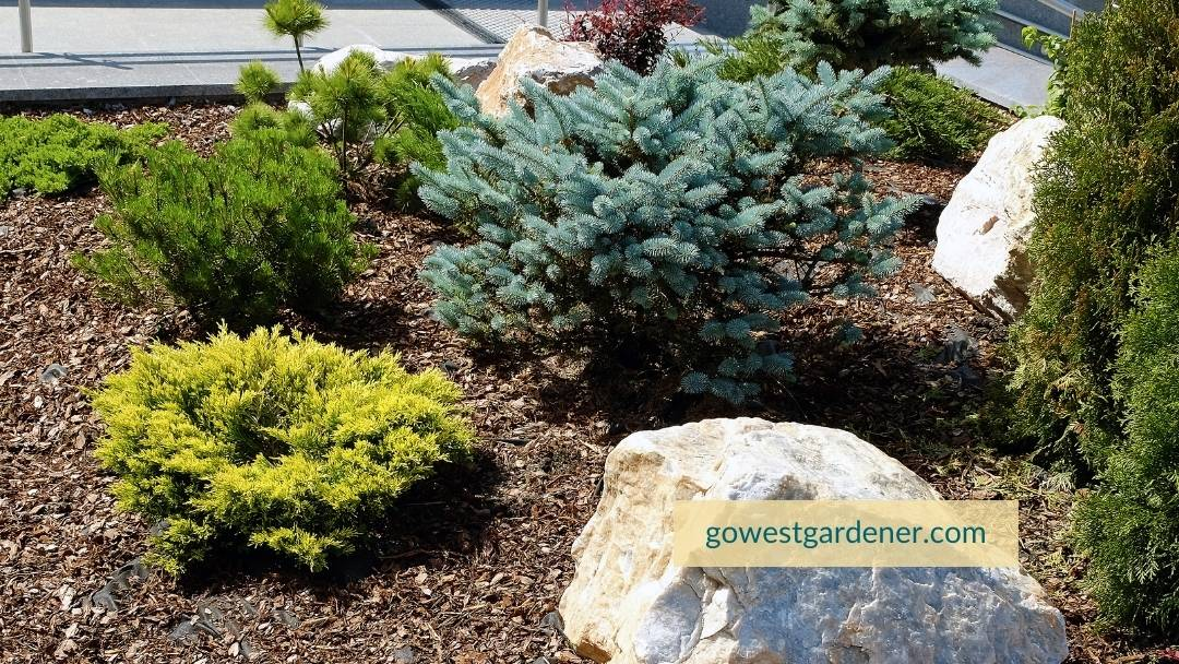 Evergreen trees and shrubs prefer to be planted in the spring in Colorado, Wyoming and similar western states.