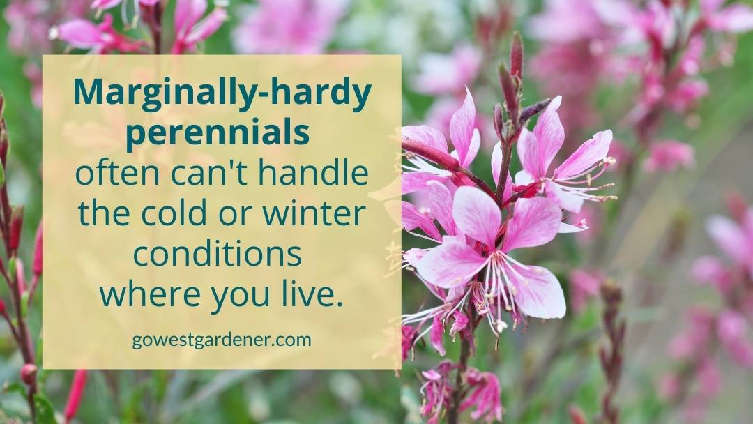 Marginally hardy perennials often can't candle the extreme cold or tough winter conditions where you live.