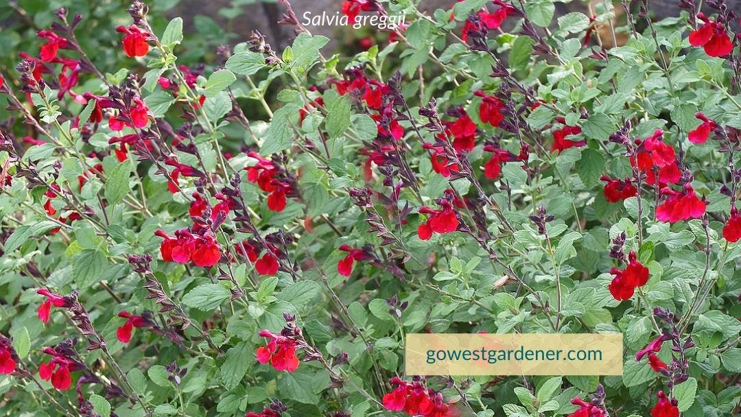 Plant Salvia greggii in the spring, not the fall, in western states like Colorado and Wyoming.